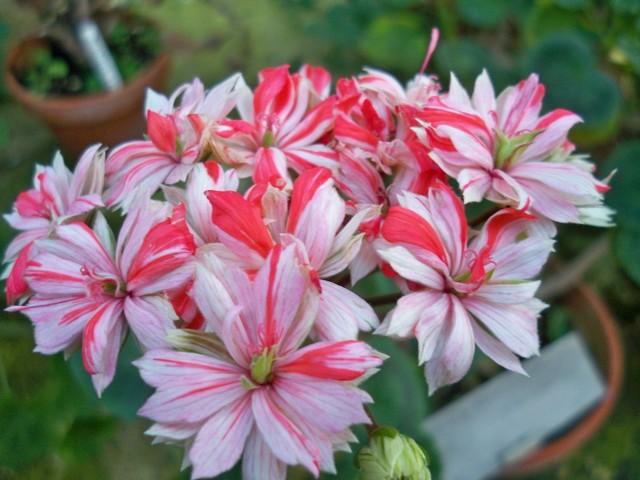 plante blomster hvide lyserøde