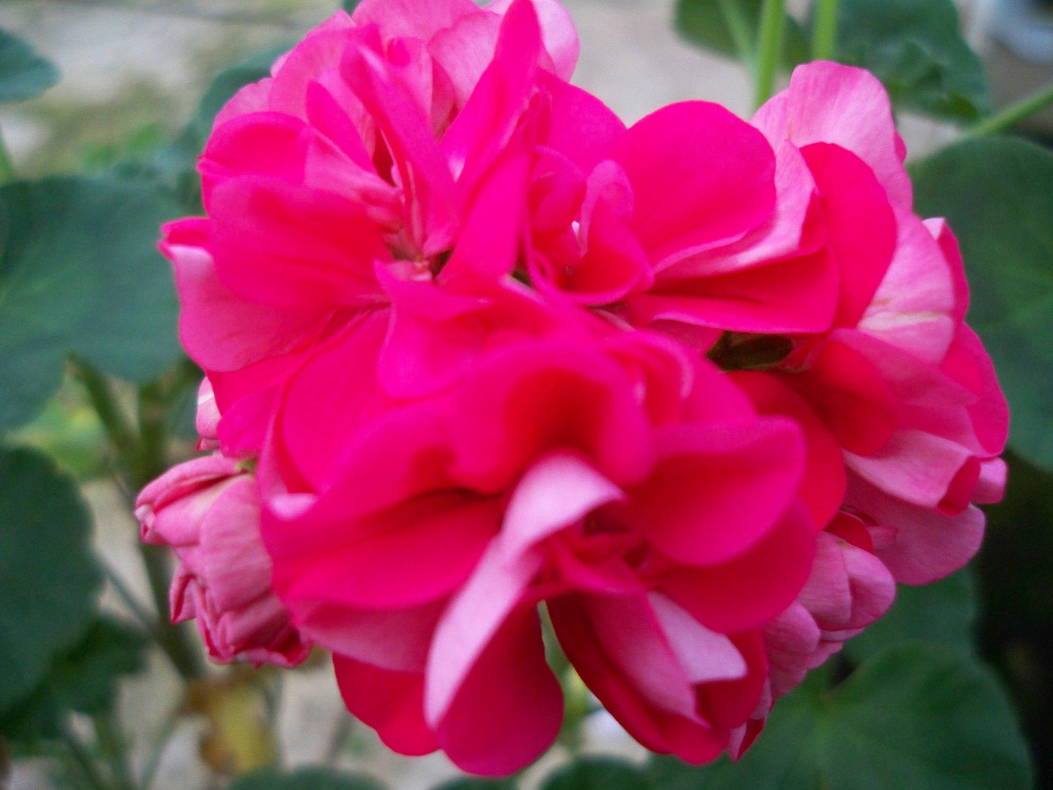 angelique blomster åbningstider